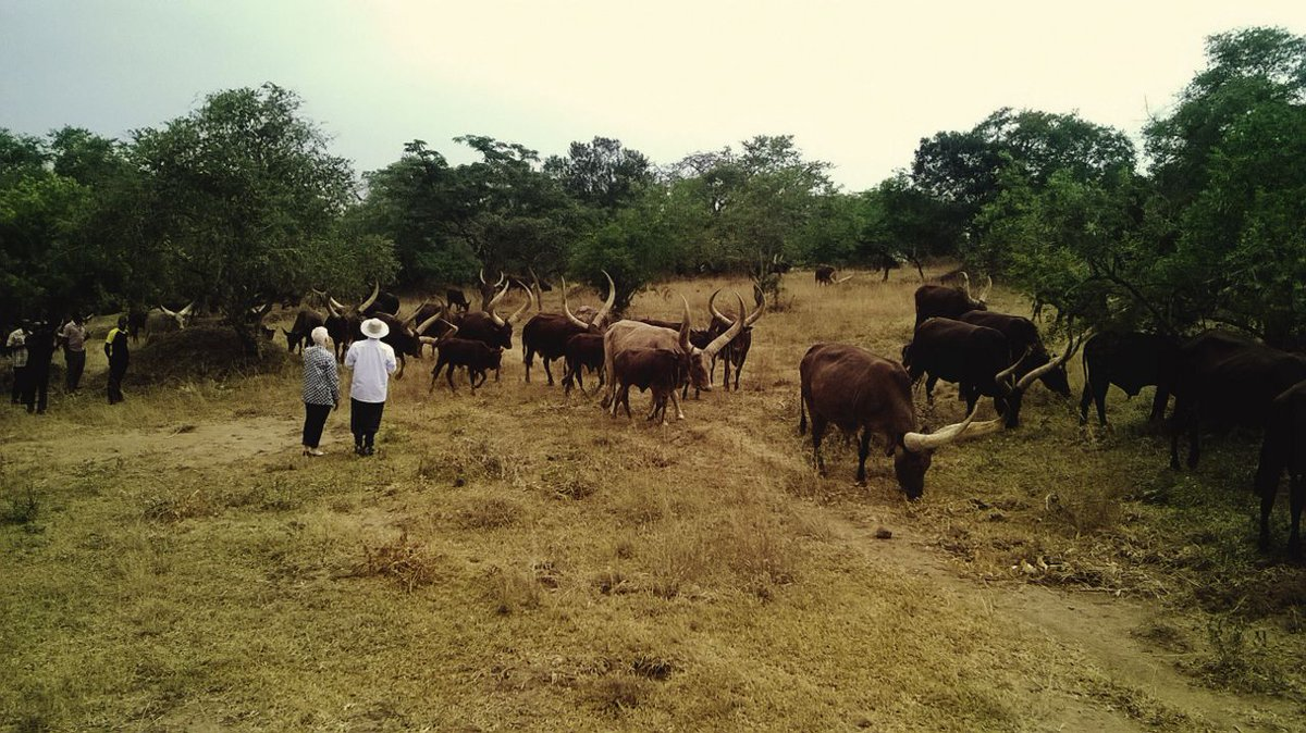 Malac cows 1