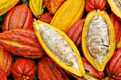 cocoa-uganda