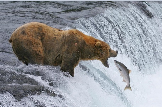 bear-fishing-2