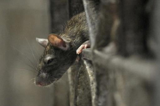rats-in-paris