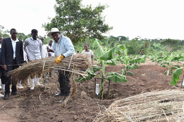 After drip irrigation, Museveni demonstrates mulching